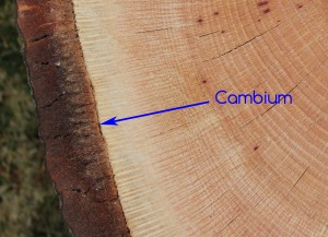 Cambium: Where all secondary growth happens in a tree. Phloem cells, or bark, are produced to the outside of the cambium layer and Xylem cells, or sapwood, are produced to the inside. This secondary growth causes a tree to increase in girth.