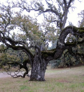 ancient oak nov 2011